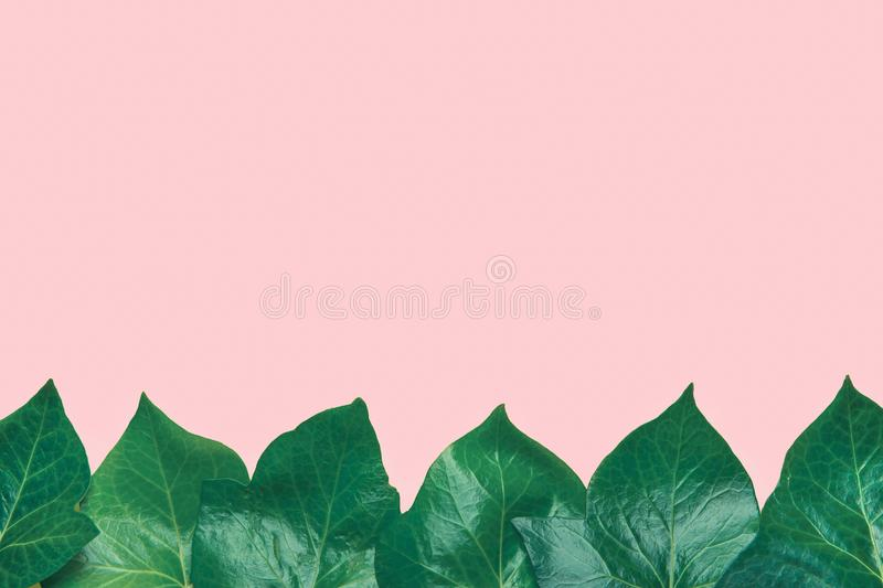 Beautiful Pattern from Fresh Green Ivy Leaves Forming Frame Border on Light Pink Background. Banner Poster Announcement Template. Botanical Foliage. Spa royalty free stock photo