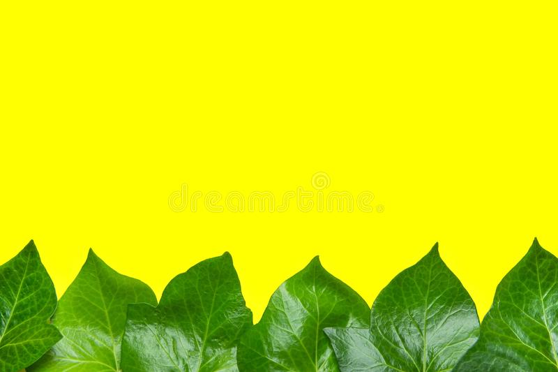 Beautiful Pattern from Fresh Green Ivy Leaves Forming Frame Border on Yellow Background. Banner Poster Announcement Template. Botanical Foliage. Spa Organic royalty free stock photo