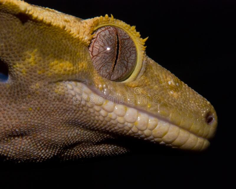 Beautiful patters of a Crested Gecko`s eye royalty free stock photos