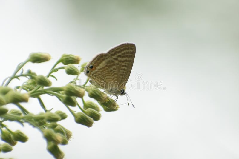 Beautiful peablue   lampides boeticus butterfly . royalty free stock photos