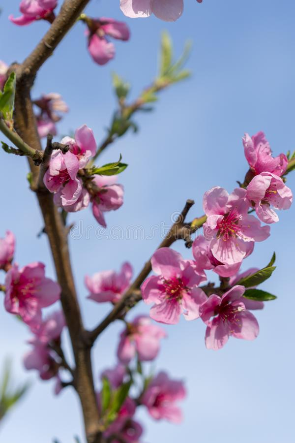 Beautiful peach blossom. Pink Peach Flowers. peach flowers on blue sky background. vertical photo.  stock images