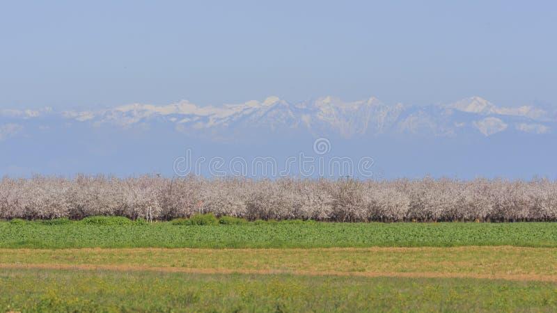 Beautiful Peach farm Blossom around Fresno. California stock photography
