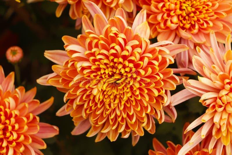 Peach marigold flower in garden. Beautiful Peach marigold flower in garden stock photography