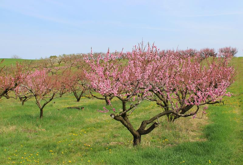 Beautiful peach-trees at spring. In Szomor, Hungary stock photo