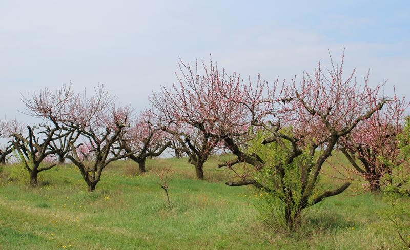 Beautiful peach-trees at spring. In Szomor, Hungary stock photography