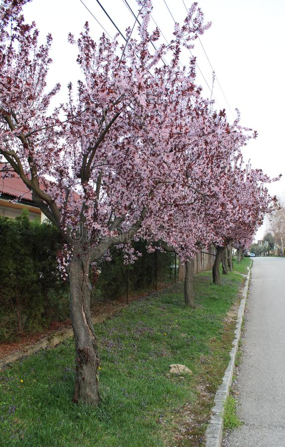 Beautiful peach-trees at spring. In a street royalty free stock images