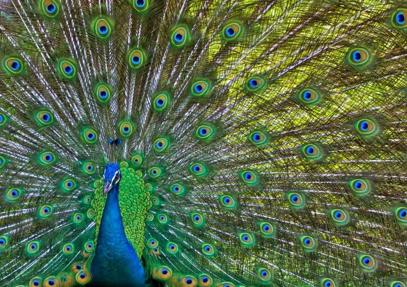 Beautiful Peacock stock photography