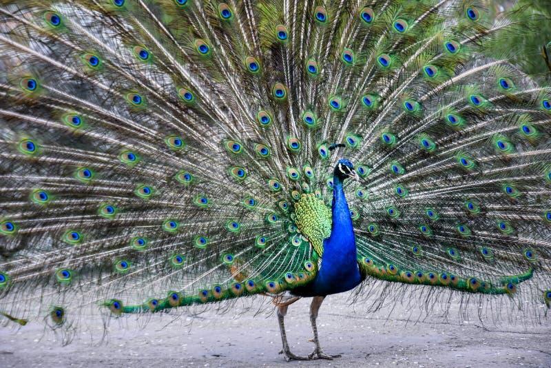 Beautiful peacock bird royalty free stock photo
