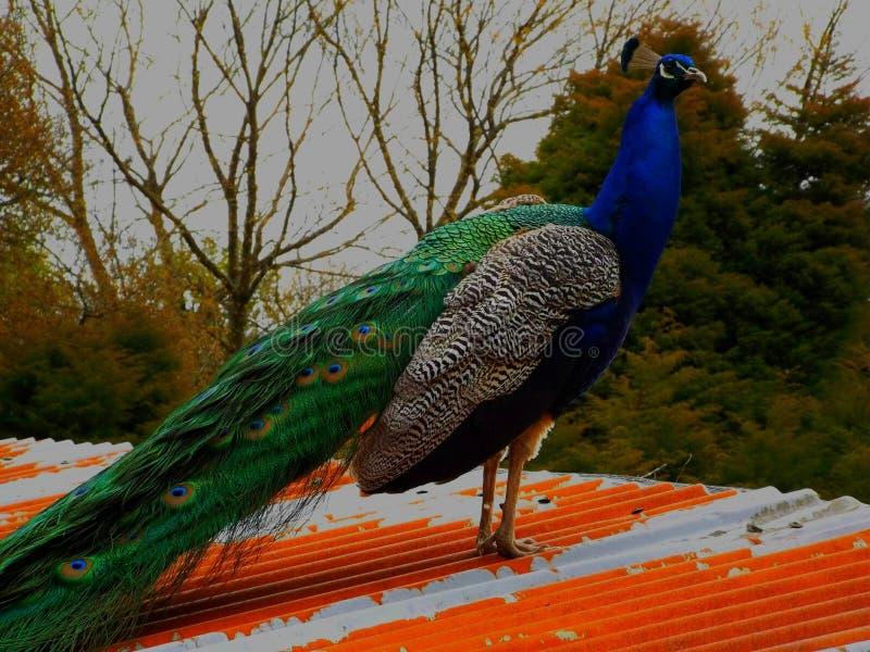 Beautiful peacock at bodmin zoo stock images