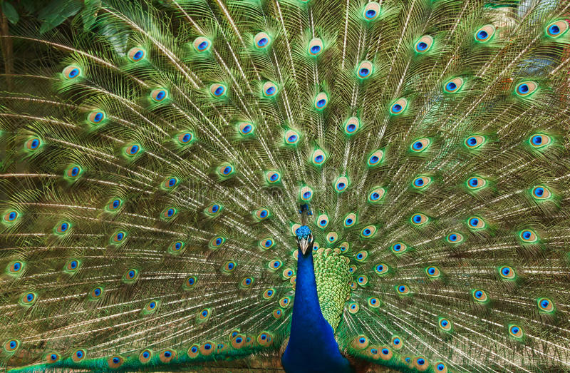 Beautiful Peacock  Feather Stock Photography