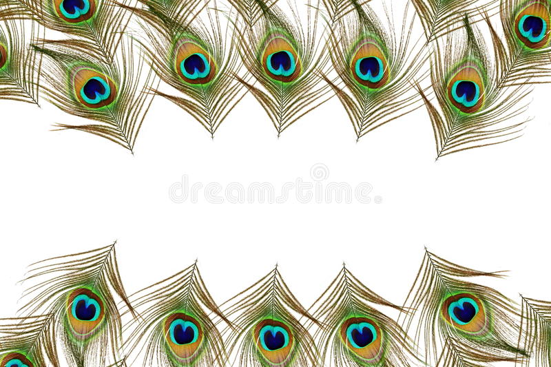 Beautiful peacock feathers as background with text copy space vector illustration