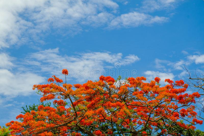Beautiful peacock flowers with blue sky royalty free stock photo