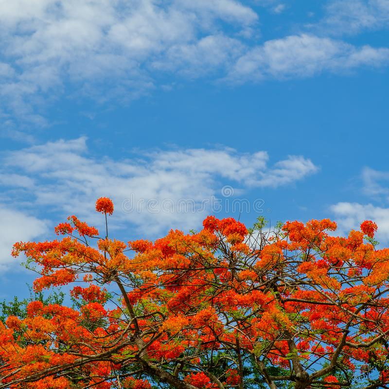 Beautiful peacock flowers with blue sky stock image