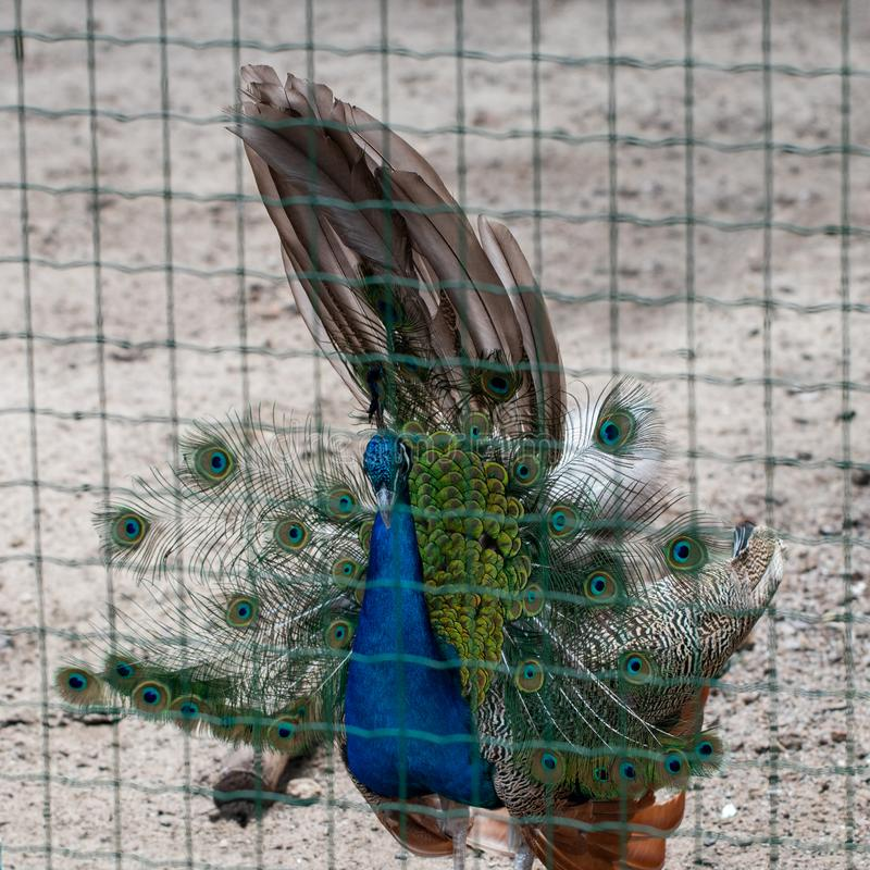 Beautiful peacock in the net fence zoo stock photography
