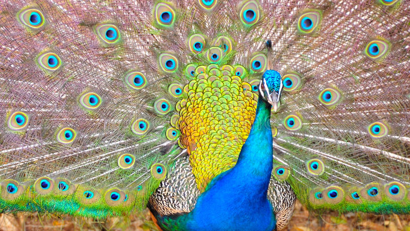 Beautiful Peacock. Portrait of beautiful and colorfull peacock stock images
