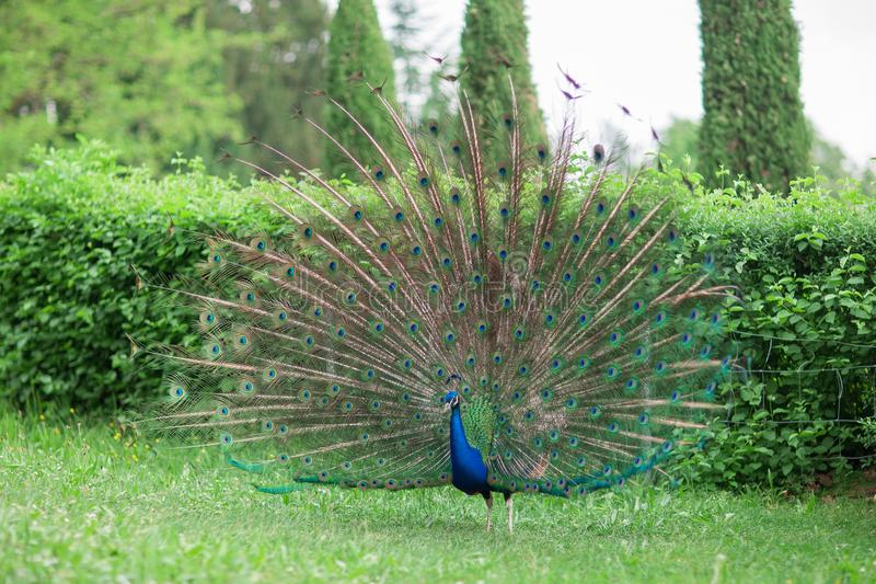 Beautiful peacock with shiny blue and green feather wheel on a meadow stock images