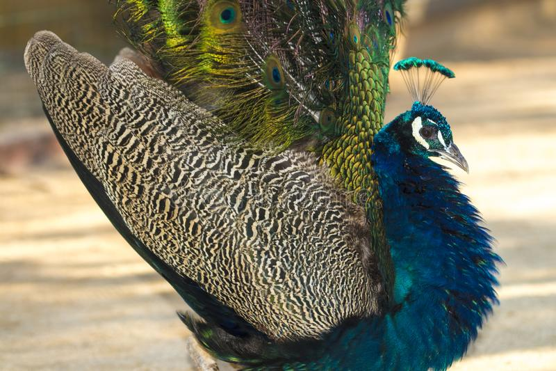 Peacock bird fully open royalty free stock photo