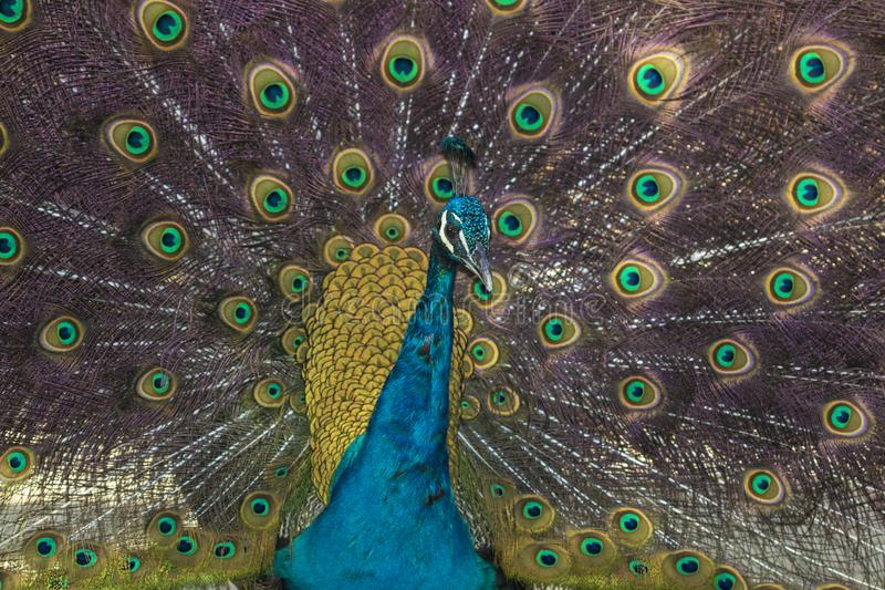 Peacock bird fully open stock image