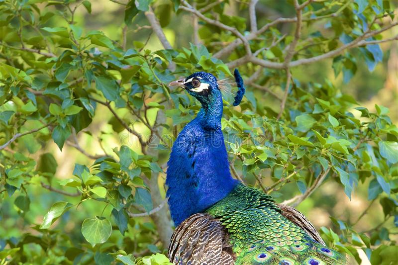 Beautiful peacock sitting in the tree, Spain royalty free stock images