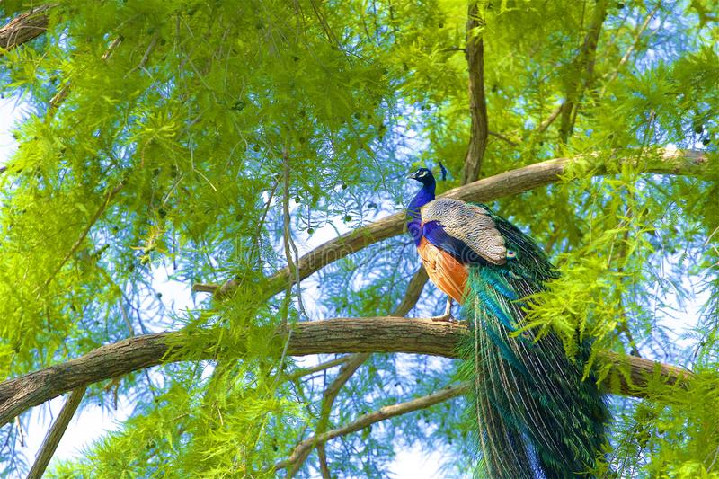 Beautiful peacock sitting in the tree, Spain stock photo