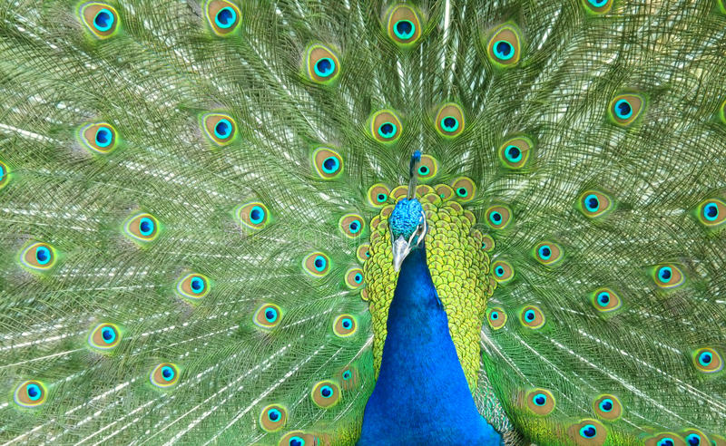 Download Beautiful Peacock Spread The Tail Feathers Stock Photo - Image: 25121422