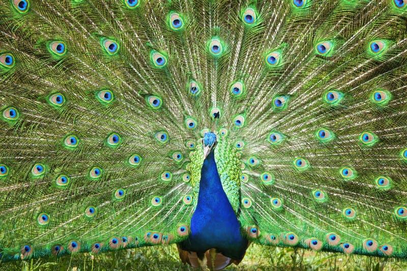 Beautiful peacock royalty free stock image