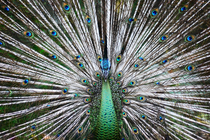 Beautiful Peacock in zoo stock images