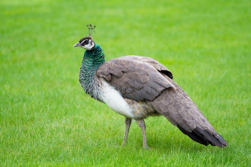 Download Beautiful peacocks stock image. Image of plumage, peacock - 23236881