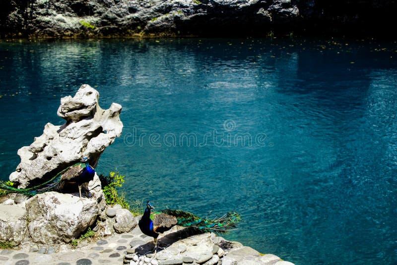 Beautiful peacocks near a blue lake stock images