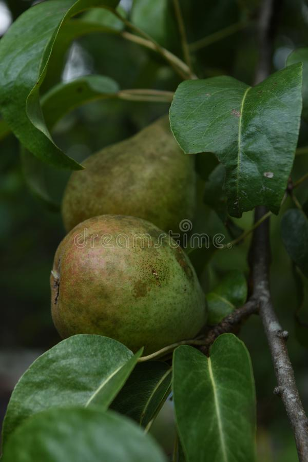 Beautiful Pears growing on a Fresh Fruit Tree stock photography