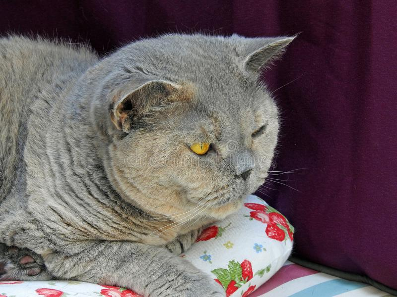 Beautiful pedigree cat persian british shorthair feline resting cushion stock photography