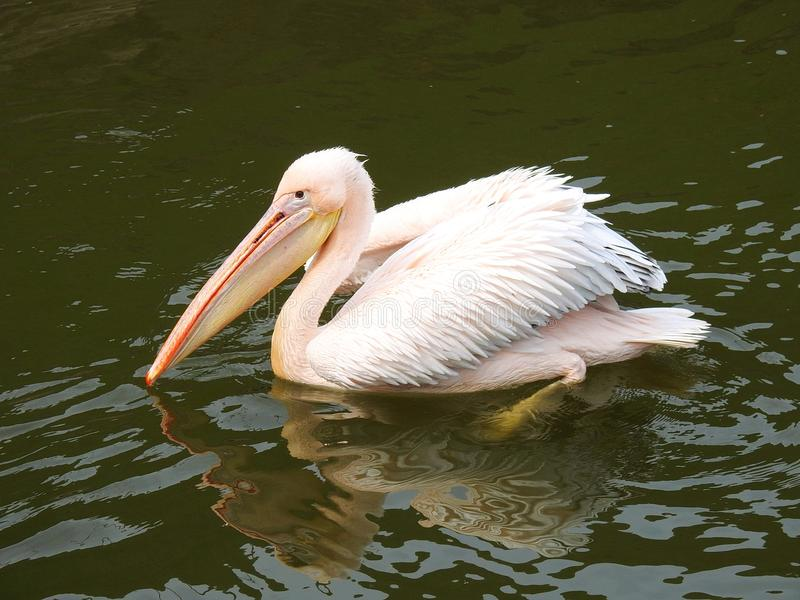 Beautiful pelican bird floating on water, Lithuania stock photo