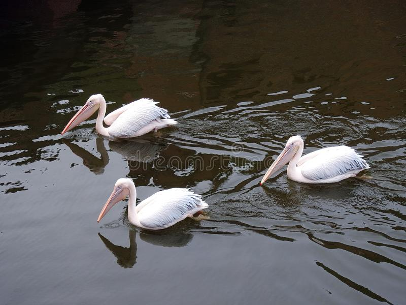Beautiful pelican birds floating on water, Lithuania. Nice white pelican birds in Klaipeda town Sea museum royalty free stock photography