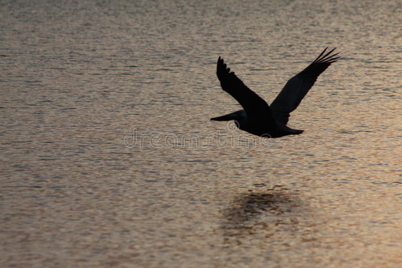 Beautiful Pelican Flying Over the Ocean. On a gorgeous sunset stock photography