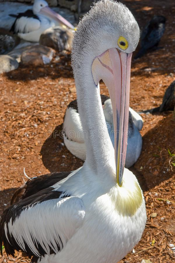 Pelican itch. Beautiful Pelican has an itch royalty free stock photo