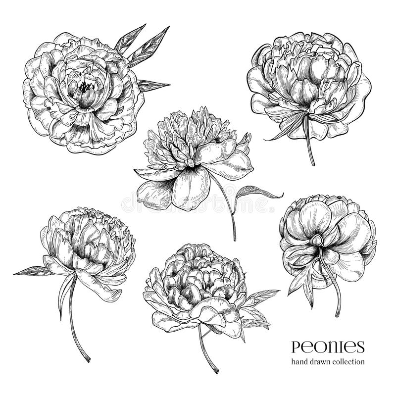 Beautiful peonies set. Hand drawn detailed blossom flowers and leaves. Black and white vector illustration collection. stock illustration