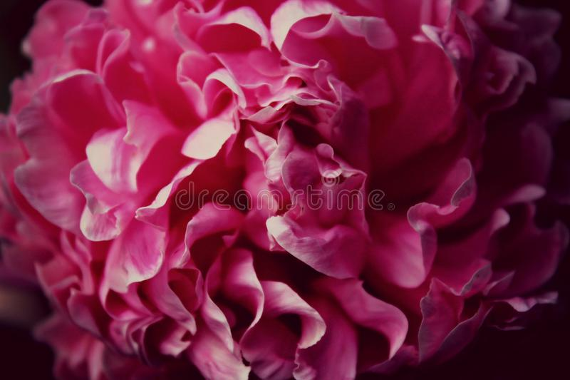 Beautiful peony royalty free stock photography