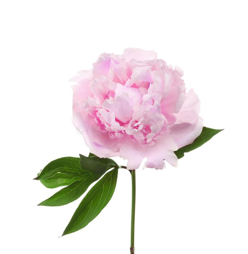 Beautiful peony flower. On white background stock photo