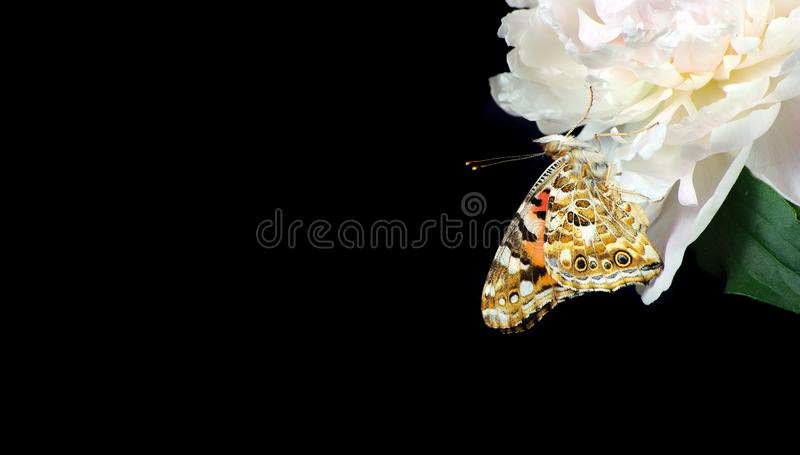 Beautiful peony flower and butterfly  on black. close up. beautiful butterfly painted lady on flower. copy spaces. royalty free stock photo