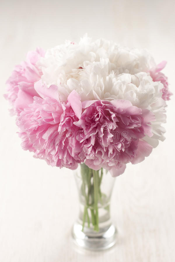 Beautiful peony flowers royalty free stock images