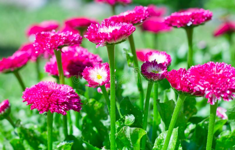 """Colorful bright flower daisy pleases with its bloom and bright colors Ñ""""Ñ'. Beautiful perennial plant-flower argarytka from the aster family stock photography"""