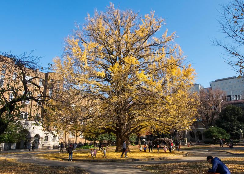 Beautiful perfect-shape yellow leaf trees in winter. Dec 9, 2016 - Tokyo, Japan: Beautiful perfect-shape yellow leaf trees in winter. There are children and stock photos