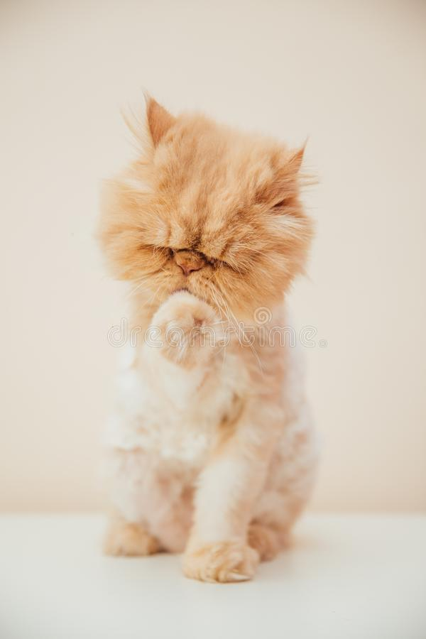 Beautiful persian cat posing for the camera. Licking it& x27;s nose and fur and makes funny faces, pet, animal, domestic, feline, breed, portrait, young royalty free stock images