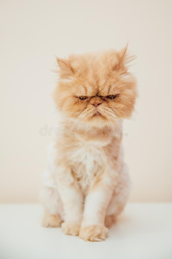 Beautiful persian cat posing for the camera. Licking it& x27;s nose and fur and makes funny faces, pet, animal, domestic, feline, breed, portrait, young stock images