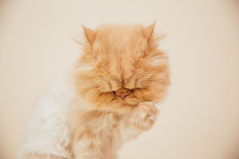 Beautiful persian cat posing for the camera. Licking it& x27;s nose and fur and makes funny faces, pet, animal, domestic, feline, breed, portrait, young stock photos