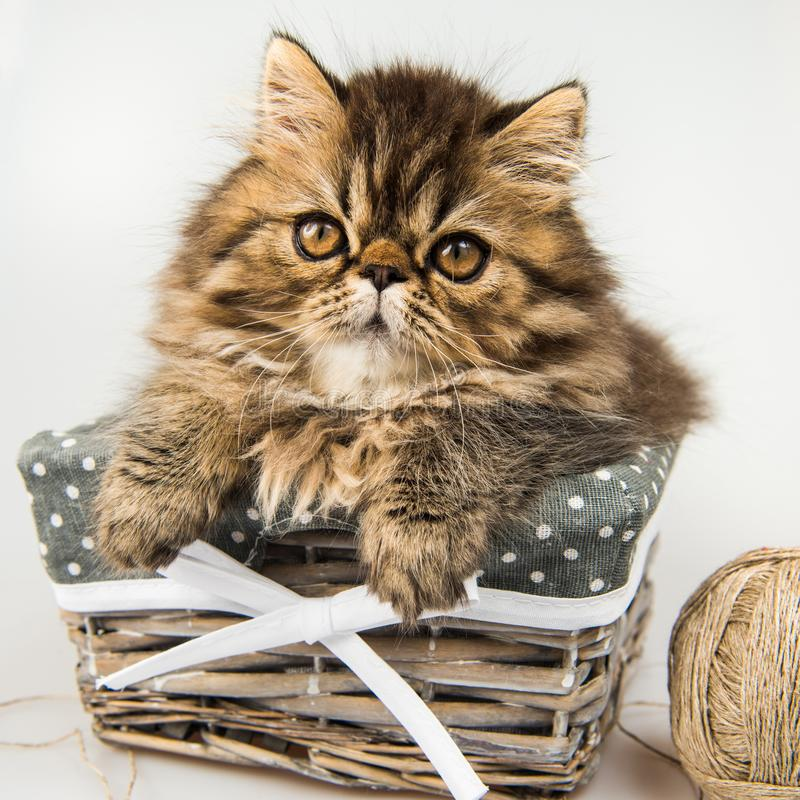 Beautiful Persian kitten cat marble color coat. In the basket, three weeks old stock photos