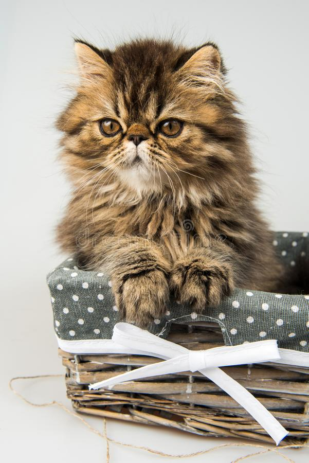Beautiful Persian kitten cat marble color coat. In the basket, three weeks old stock image