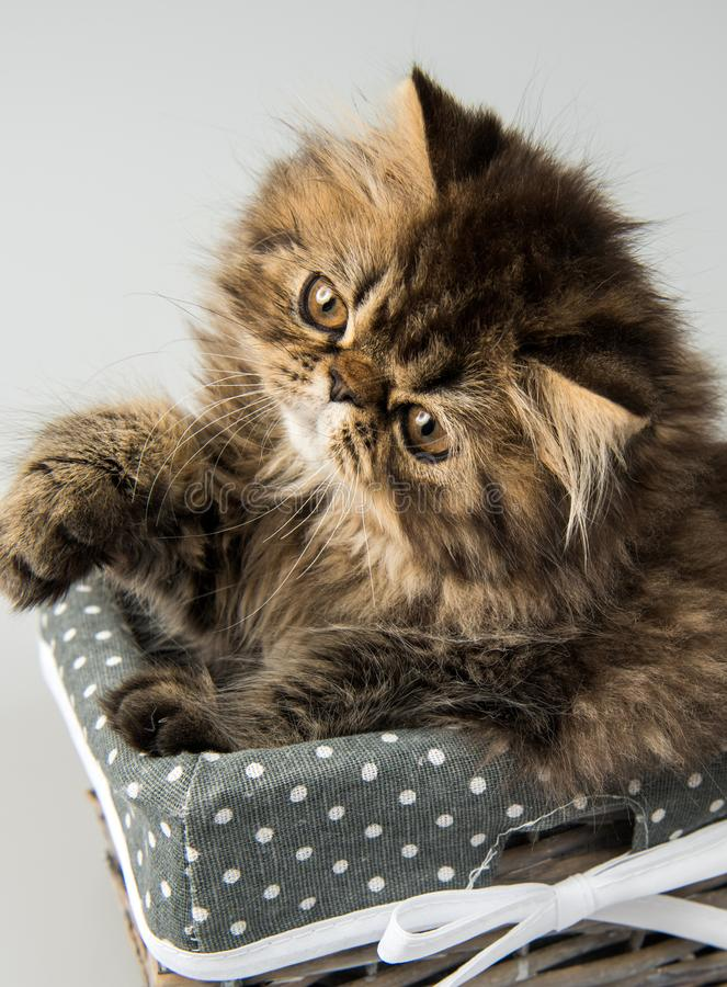 Beautiful Persian kitten cat marble color coat. In the basket, three weeks old royalty free stock photography