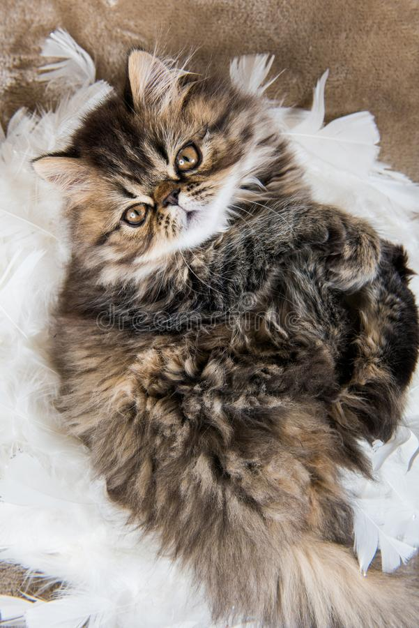 Beautiful Persian kitten cat marble color coat. Is playing in white feathers, three weeks old stock photos
