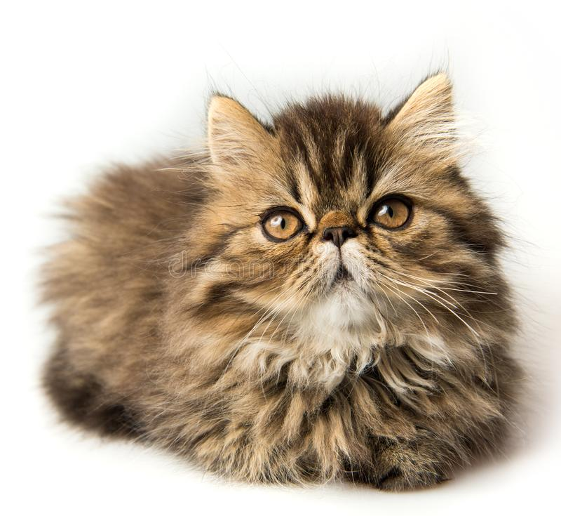 Beautiful Persian kitten cat marble color coat. Three weeks old stock photography